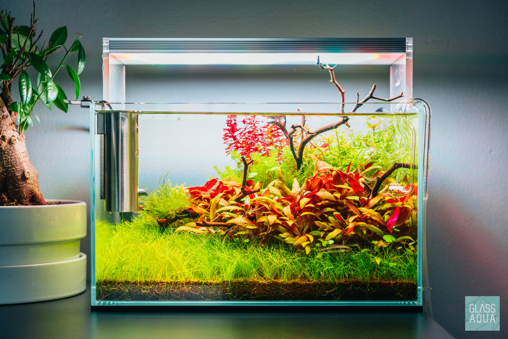 Shop Rotala Macrandra 'Mini' Butterfly Aquatic Plants - Glass Aqua