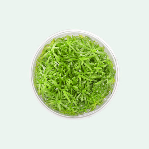 Shop Pogostemon Helferi Downoi Tissue Culture by UNS Aquatic Plants - Glass Aqua