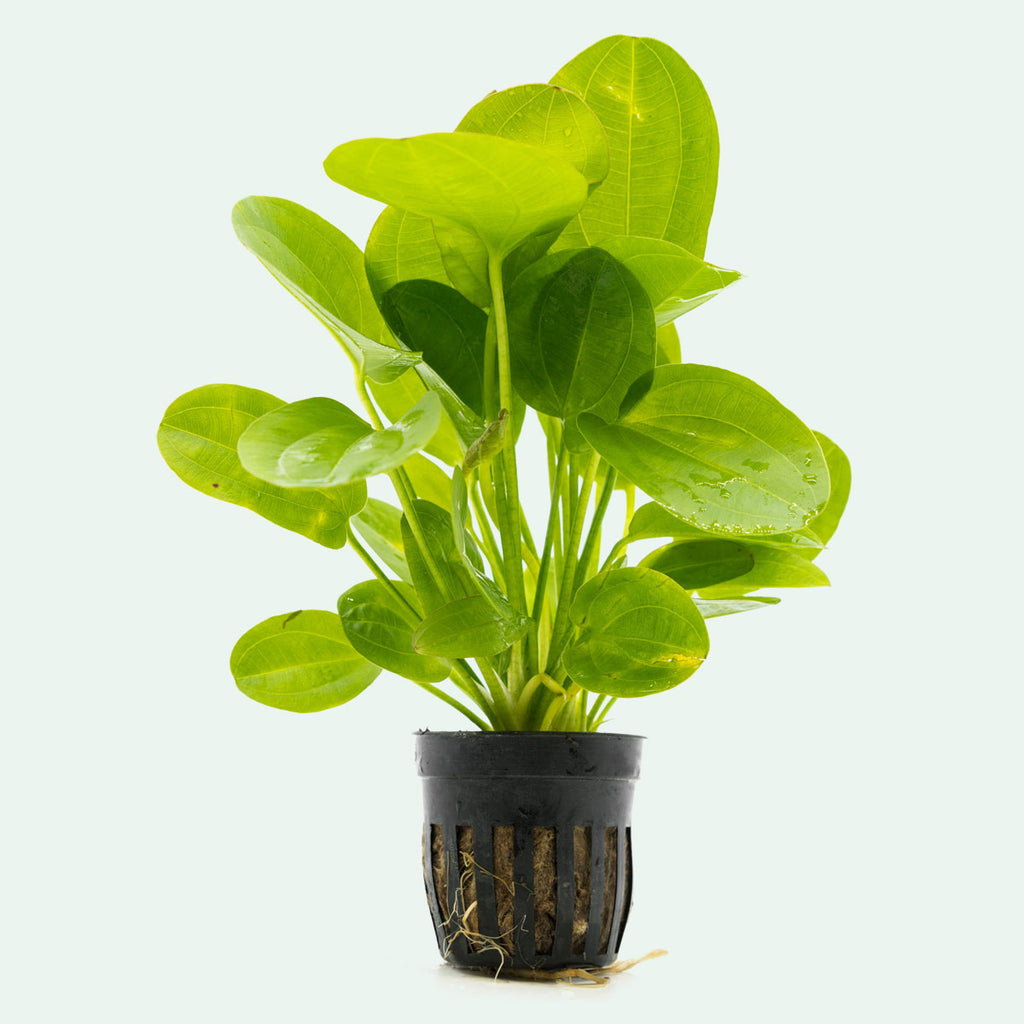 Shop Echinodorus Horizontalis Mini Aquatic Plants - Glass Aqua