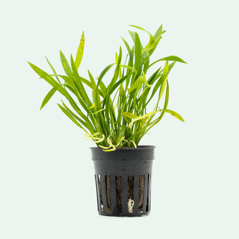 Shop Echinodorus Tenellus Aquatic Plants - Glass Aqua