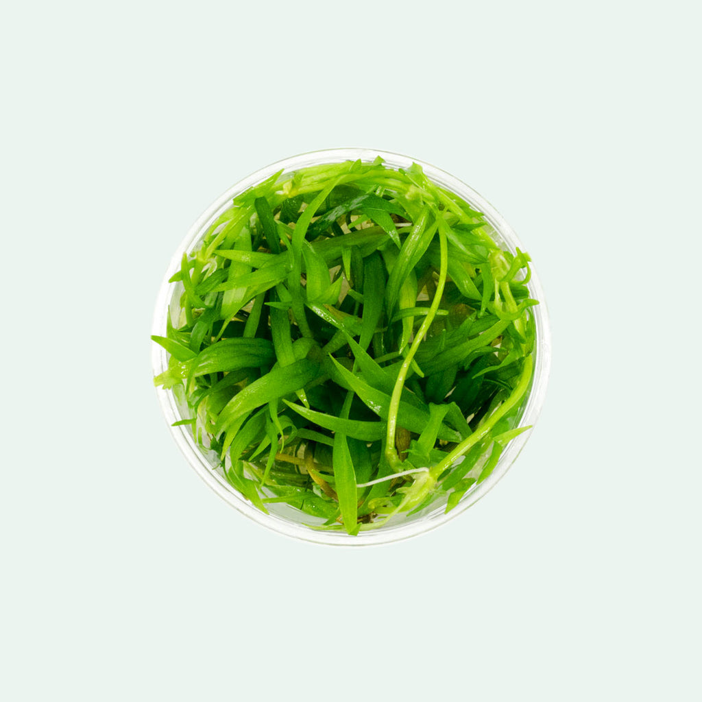 Shop Echinodorus Magdalenensis Tissue Culture Aquatic Plant - Glass Aqua