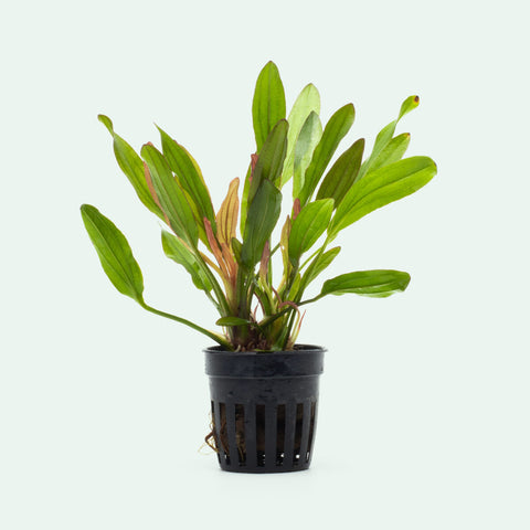 Echinodorus Red Devil Amazon Sword Live Aquatic Plant for Planted Tank