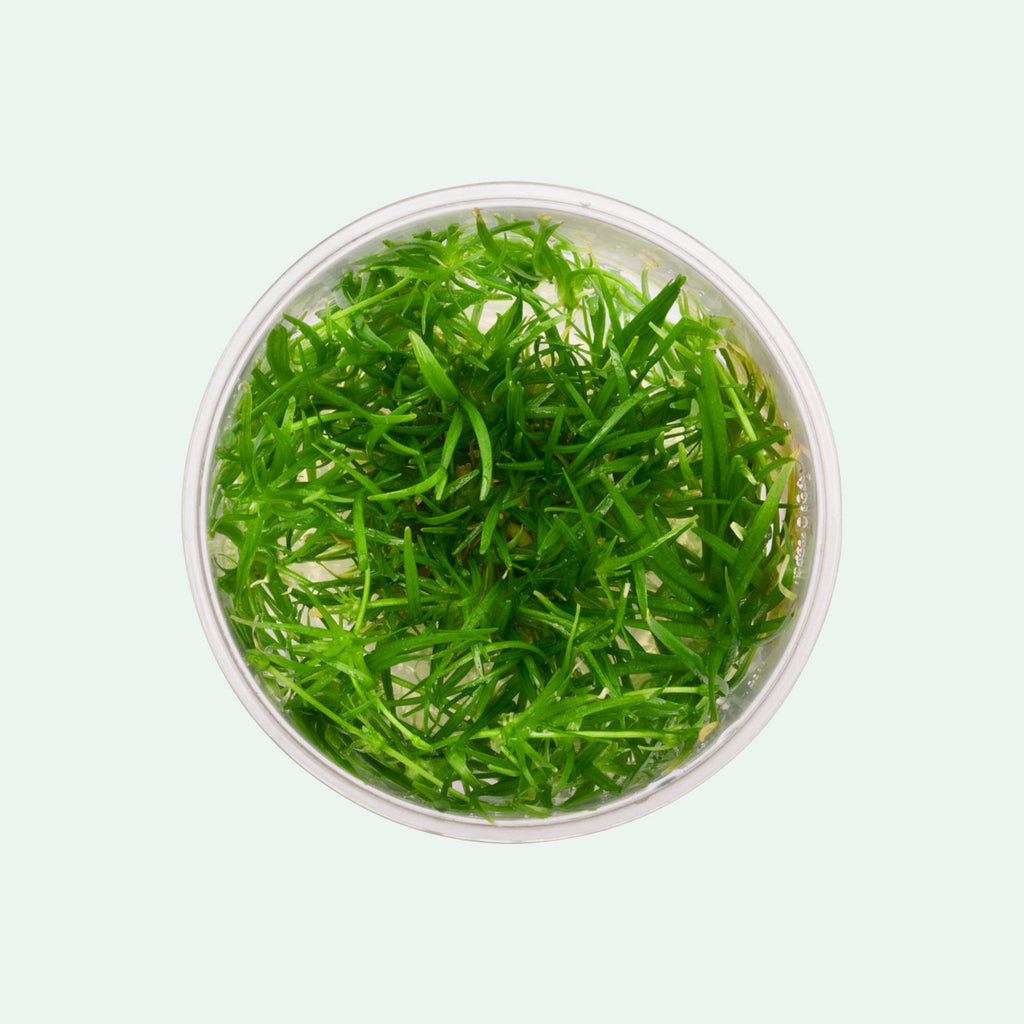 Shop Echinodorus Tenellus Tissue Culture by UNS Aquatic Plants - Glass Aqua