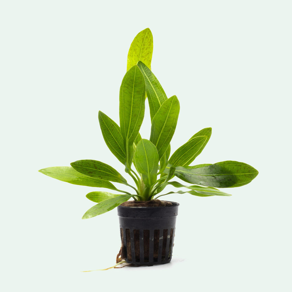 Echinodorus Uruguayensis Amazon Sword Aquatic Plant for Planted Tank