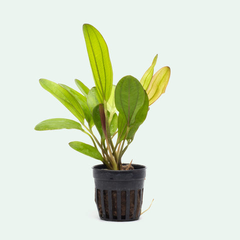 Echinodorus Chameleon Amazon Sword Live Aquatic Plant for Planted Tank