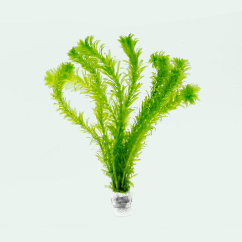 Shop Egeria Densa Aquatic Plants - Glass Aqua
