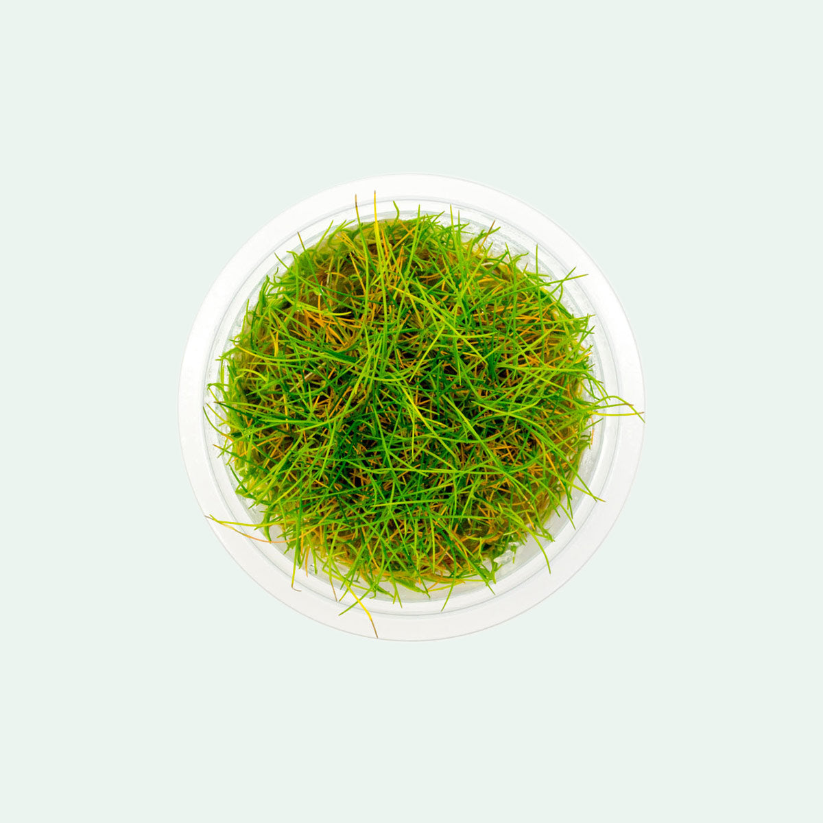Shop Eleocharis Belem Aquatic Plants - Glass Aqua