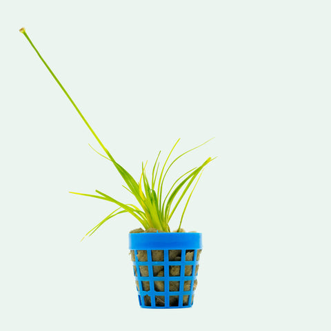 Shop Eriocaulon Dong Ha Aquatic Plants - Glass Aqua