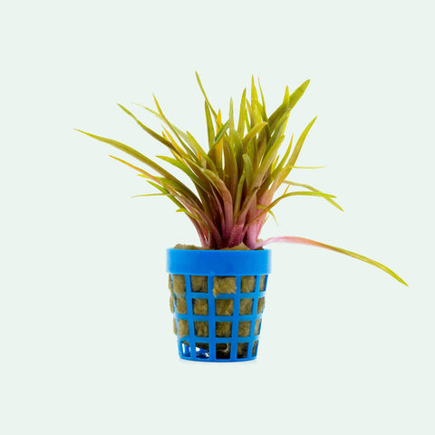 Shop Eriocaulon Quinquangulare Red Aquatic Plants - Glass Aqua