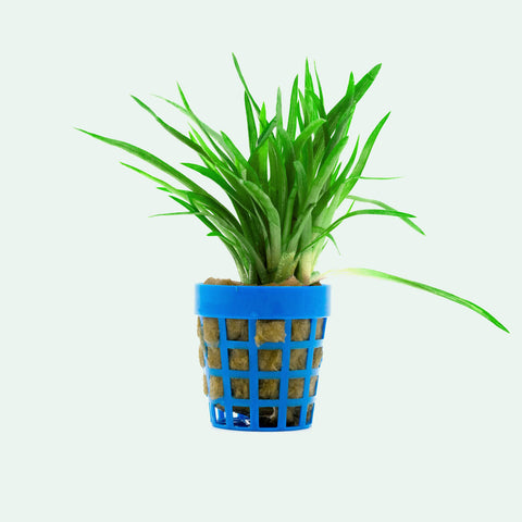 Shop Eriocaulon Vietnam Aquatic Plants - Glass Aqua