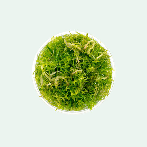 Shop Eusteralis Stellata Aquatic Plants - Glass Aqua