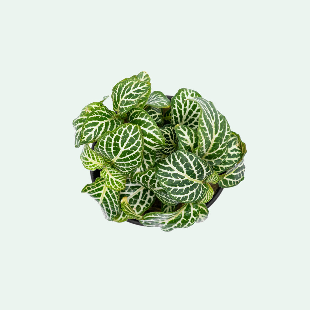 Shop Fittonia Albivenis Terrarium Plant - Glass Aqua