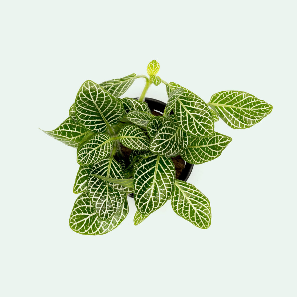 Fittonia Albivenis Easy Terrarium Vivarium House Plant and Wabi Kusa