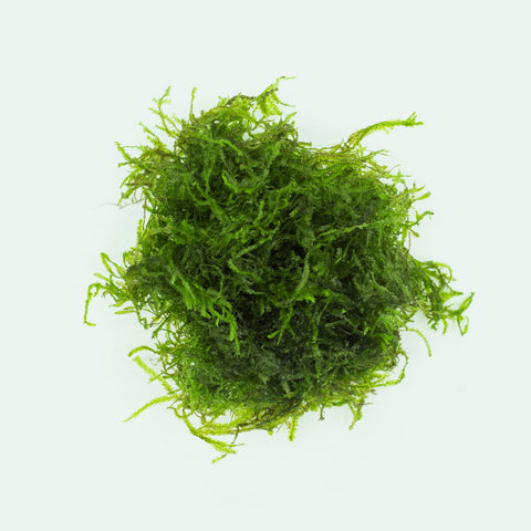 Shop Flame Moss Aquatic Plants - Glass Aqua