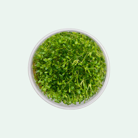 Shop Glossostigma Elatinoides Tissue Culture by UNS Aquatic Plants - Glass Aqua