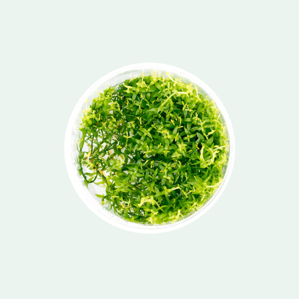 Shop Gratiola Viscidula Aquatic Plants - Glass Aqua