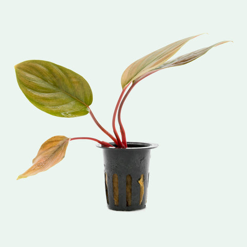 Shop Homalomena Humilis Aquatic Plants - Glass Aqua