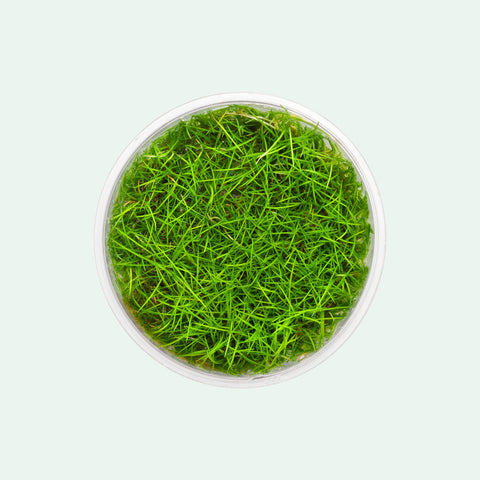 Shop Eleocharis Parvula Mini Tissue Culture by UNS Aquatic Plants - Glass Aqua