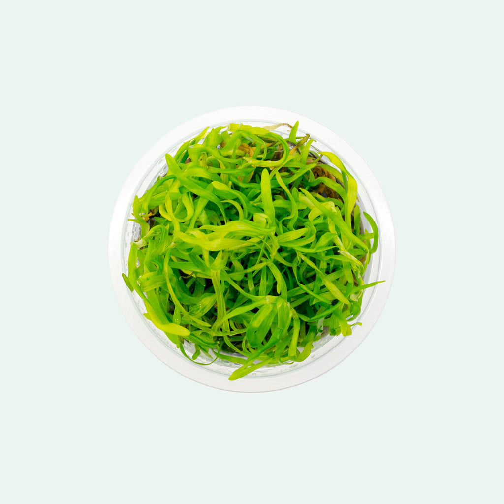 Shop Heteranthera Zosterifolia Tissue Culture Aquatic Plants - Glass Aqua