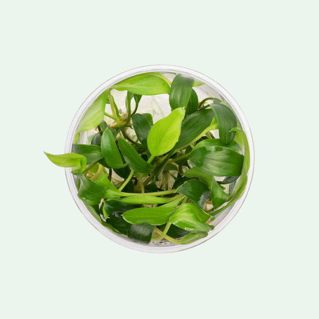 Shop Homalomena Sekadau South Aquatic Plants - Glass Aqua