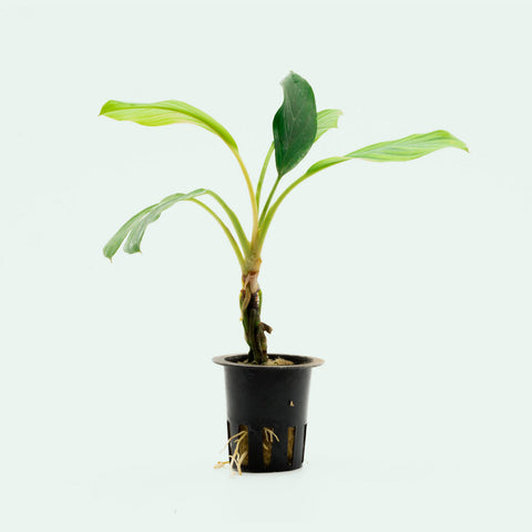 Homalomena Silver Aquatic Jungle Plant for Planted Aquarium Tank