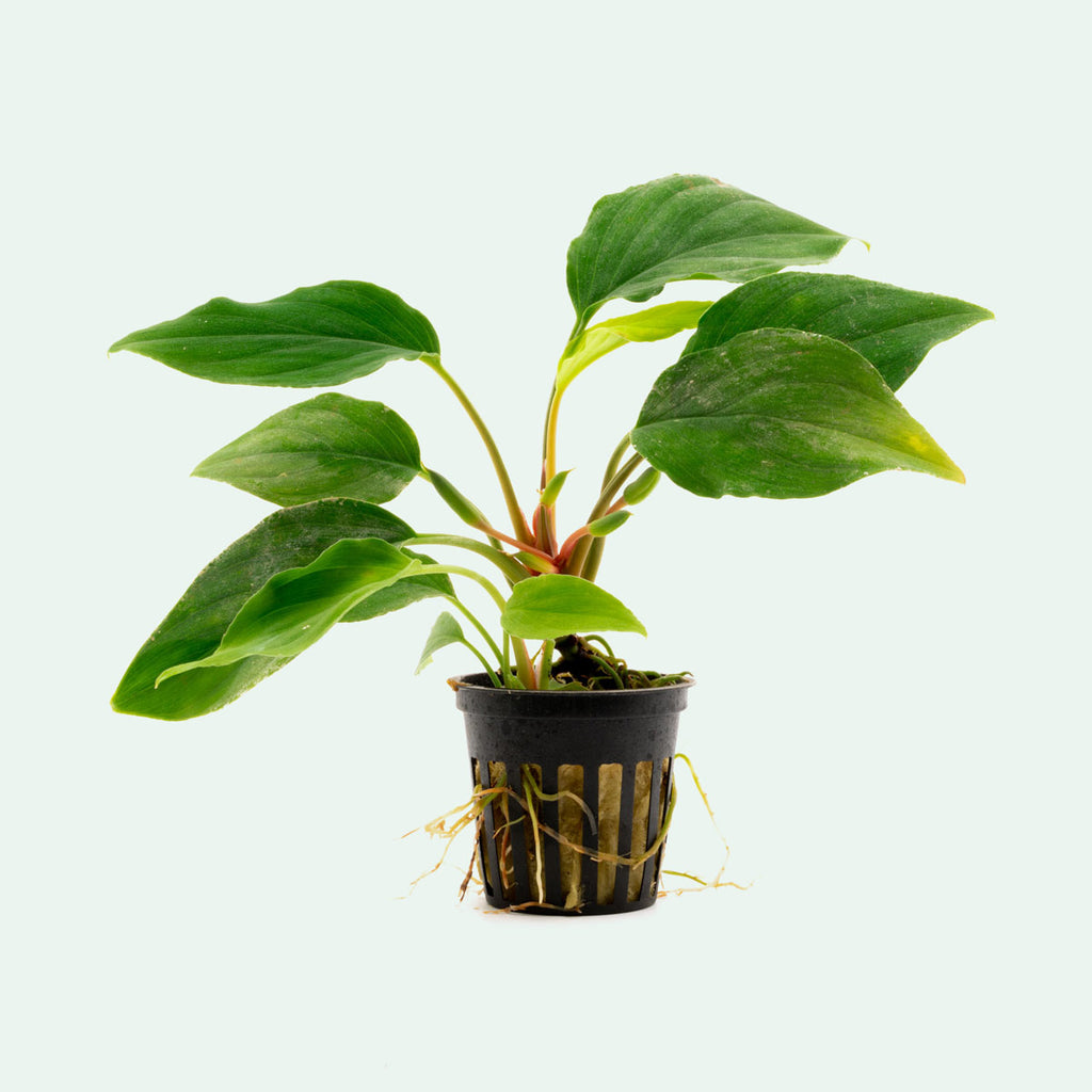 Shop Homalomena Sungai Aquatic Plants - Glass Aqua