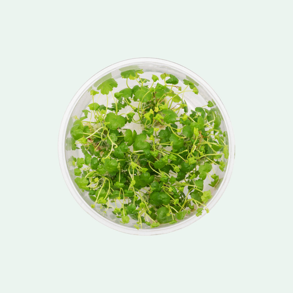 Shop Hydrocotyle Tripartita Tissue Culture by UNS Aquatic Plants - Glass Aqua