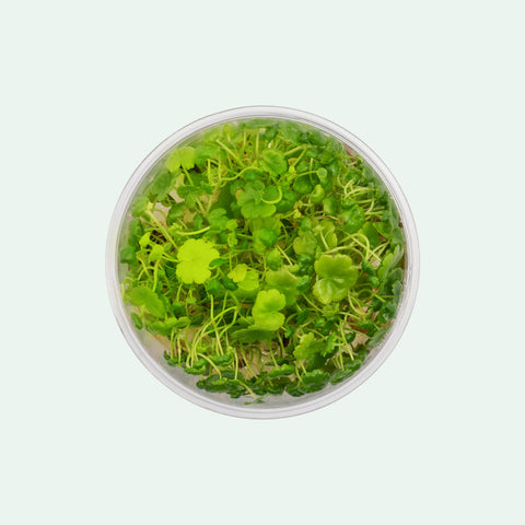 Shop Hydrocotyle Sibthorpioides Tissue Culture by UNS Aquatic Plants - Glass Aqua