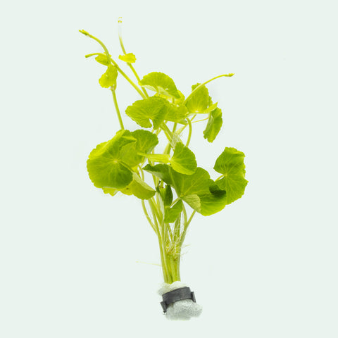 Shop Hydrocotyle Leucocephala Aquatic Plants - Glass Aqua