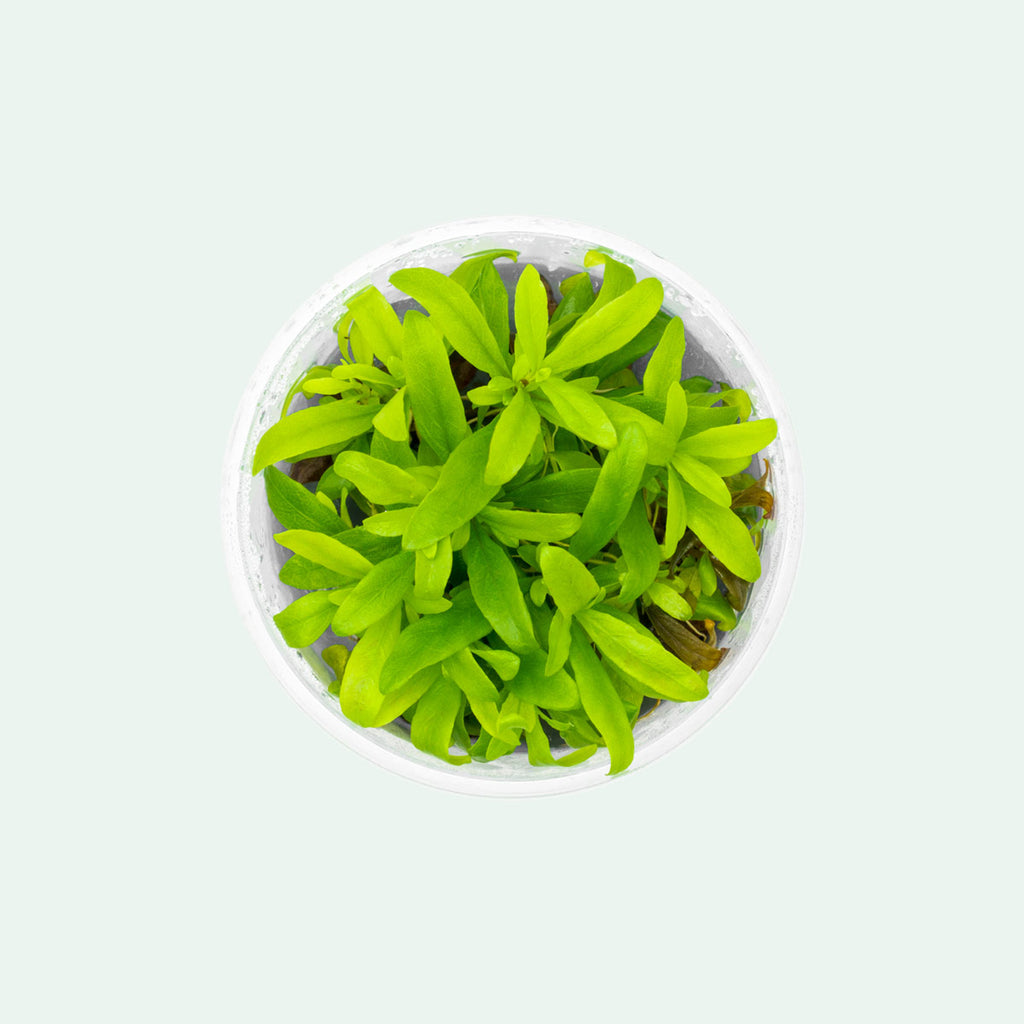 Shop Hygrophila Siamensis Aquatic Plants - Glass Aqua