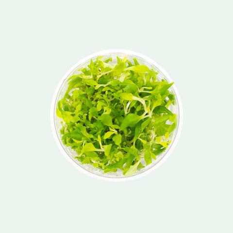 Shop Hygrophila Difformis Aquatic Plants - Glass Aqua