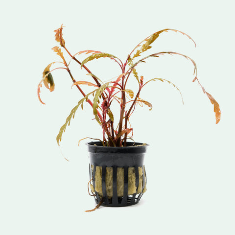 Shop Hygrophila Pinnatifida Aquatic Plants - Glass Aqua