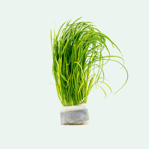 Shop Isoetes Velata Var. Sicula Aquatic Plants - Glass Aqua