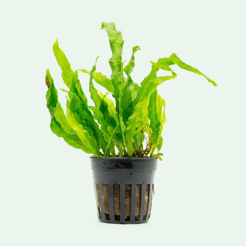 Shop Microsorum Pteropus Flaming Aquatic Plants - Glass Aqua