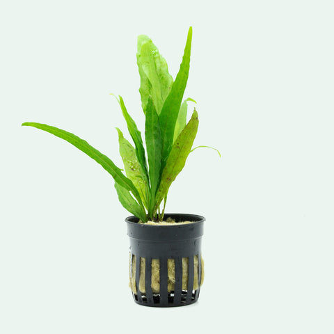 Shop Microsorum Pteropus Narrow Leaf Aquatic Plants - Glass Aqua