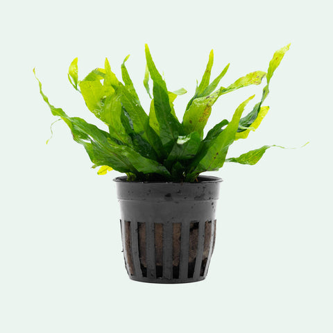 Shop Microsorum Pteropus Petite Aquatic Plants - Glass Aqua
