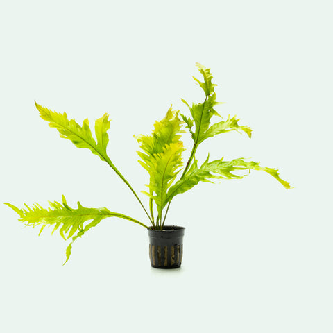 Microsorum Pteropus Java Fern Sunrise Easy Beginner Aquarium Plant