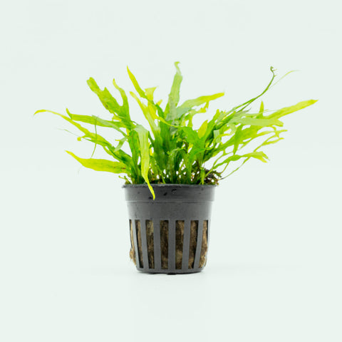 Shop Microsorum Pteropus Trident Mini Aquatic Plants - Glass Aqua
