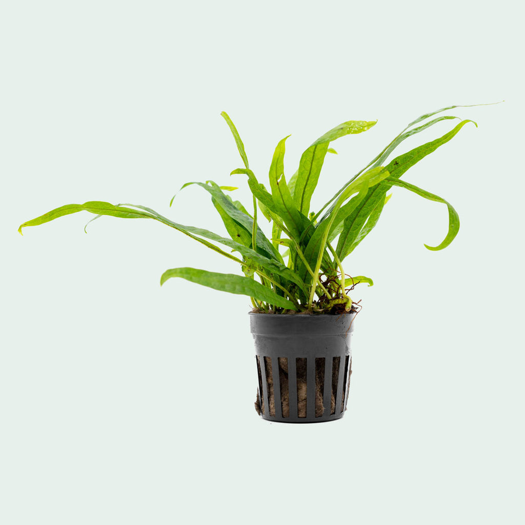 Shop Microsorum Pteropus Philippine Mini Aquatic Plants - Glass Aqua