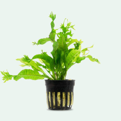 Shop Microsorum Pteropus 'Windelov' Aquatic Plants - Glass Aqua