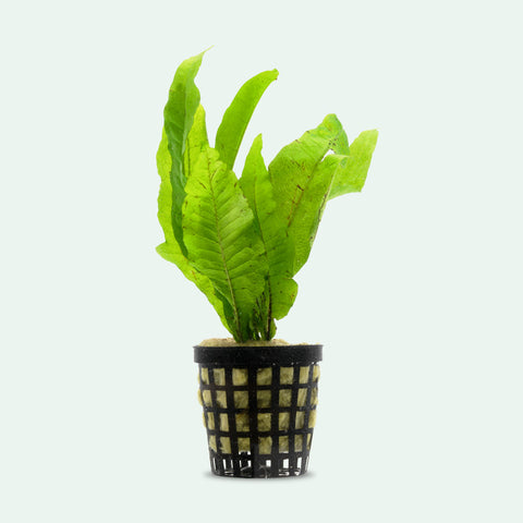 Shop Microsorum Pteropus Aquatic Plants - Glass Aqua
