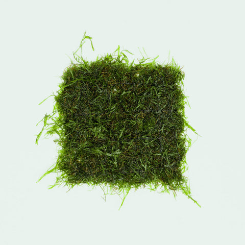Java Moss Large Mat Easy Aquatic Plant for Planted Aquarium Tank