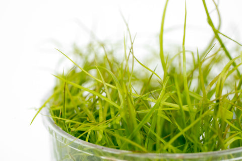 Shop Juncus Repens Aquatic Plants - Glass Aqua