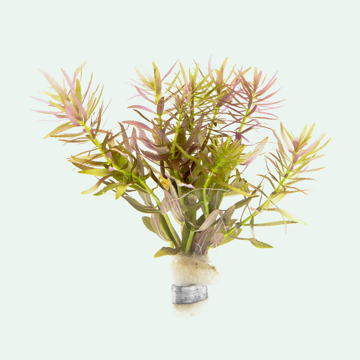 Shop Limnophila Aromatica Aquatic Plants - Glass Aqua