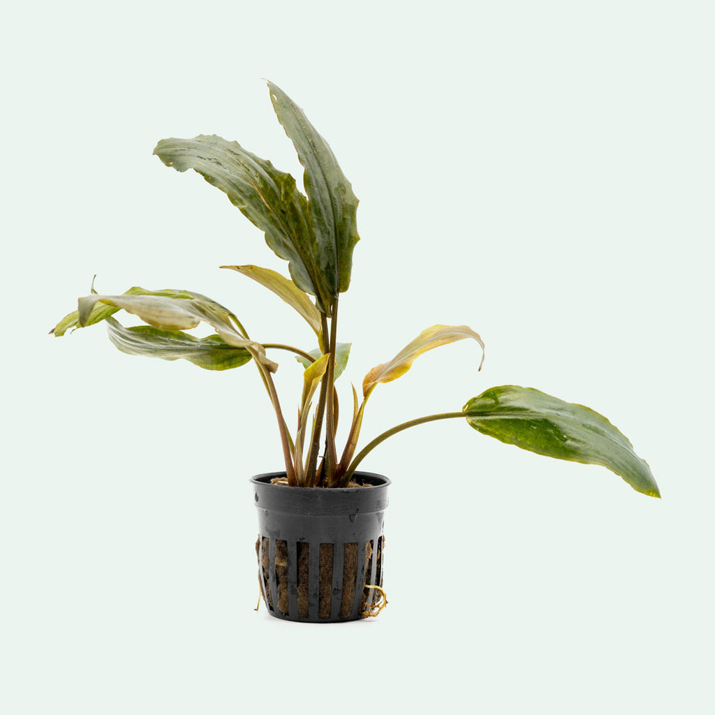 Shop Lagenandra Keralensis Aquatic Plants - Glass Aqua