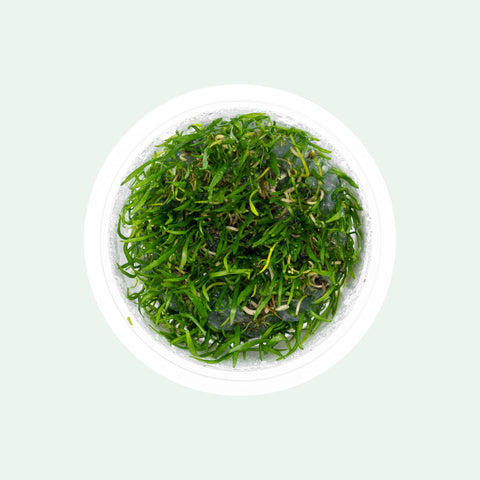 Shop Lilaeopsis Brasiliensis Aquatic Plants - Glass Aqua