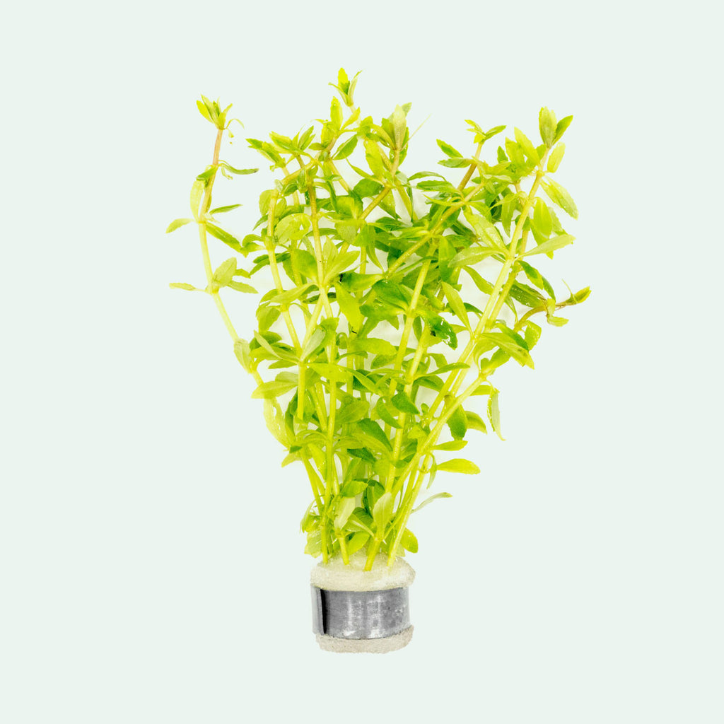Shop Limnophila Mini Vietnam Aquatic Plants - Glass Aqua