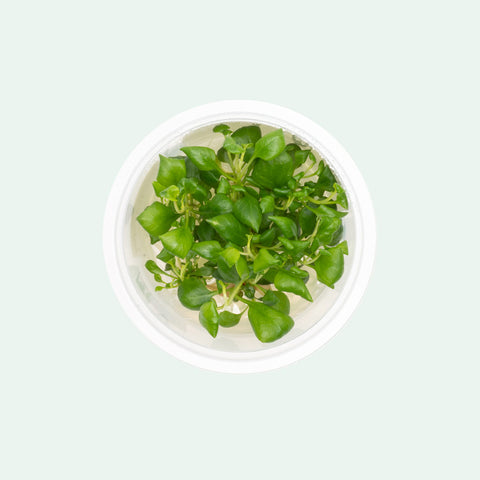 Shop Lobelia Cardinalis Mini Aquatic Farmer Tissue Culture Aquatic Plants - Glass Aqua