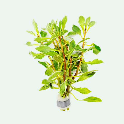 Shop Ludwigia White Aquatic Plants - Glass Aqua