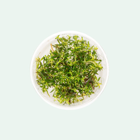 Shop Ludwigia Arcuata Tissue Culture Aquatic Plants - Glass Aqua